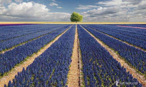 Hyacinths & Tree